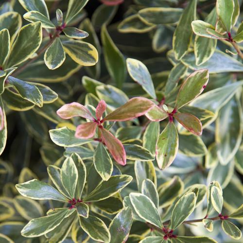 Variegated Juliet Cleyera Shrub Foliage Main