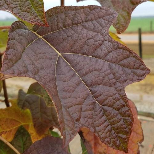 Semmes Beauty Oakleaf Hydrangea Leaves Main