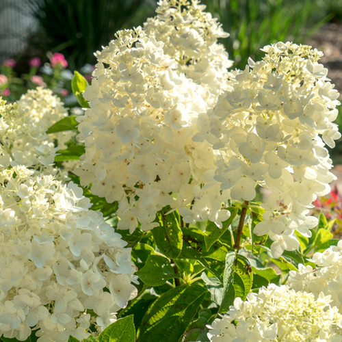 White Moon Dance Hydrangea Blooms Main