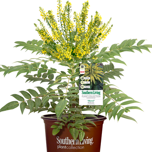 Marvel Mahonia Shrub in Branded Pot Main