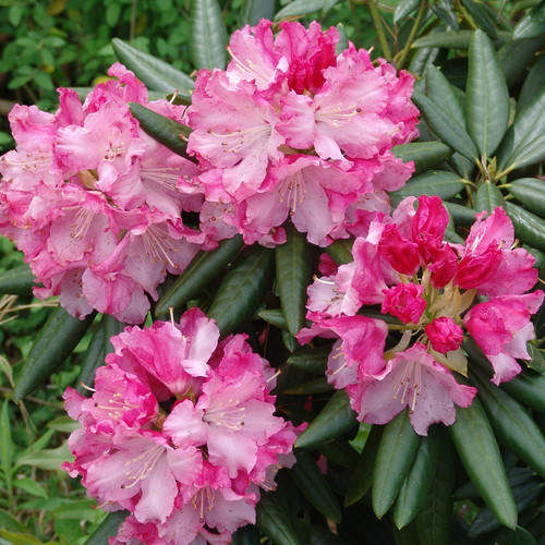 Pink Southgate Brandi Rhododendron Flowers and Foliage Main