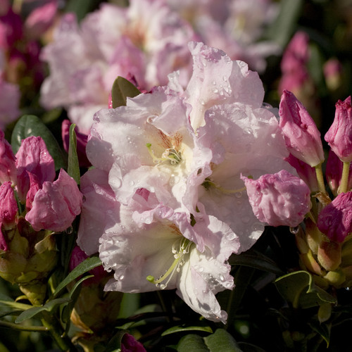 Southgate Breeze Rhododendron Flowers Main
