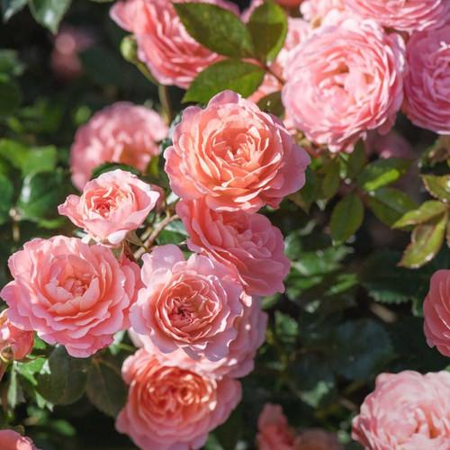 Apricot Drift Rose Shrub Full of Flowers Main