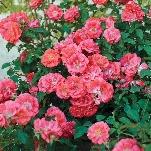 Coral Drift Rose Bush Covered in Flowers Main