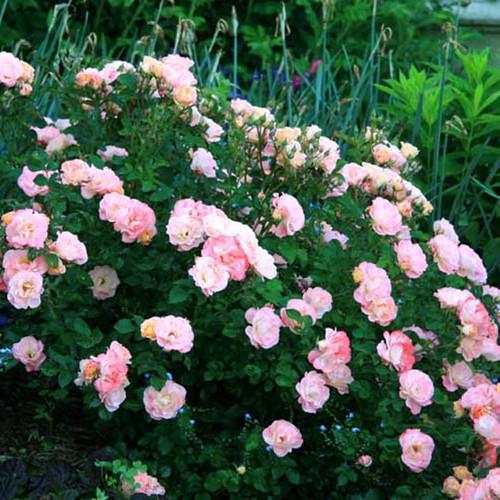Large Peach Drift Rose Bush Covered in Flowers Main