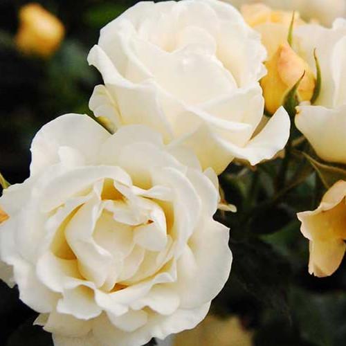 Popcorn Drift Rose Shrub Flower Petals Close Up Main
