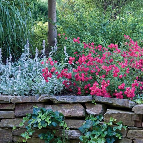 Red Drift Rose Shrub in Retaining Wall Main