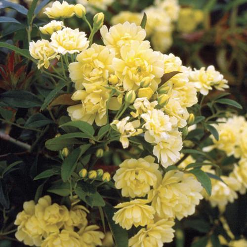 Yellow Lady Banks Climbing Rose Shrub Main