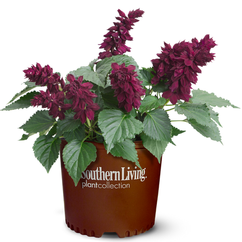 Saucy Wine Salvia in Branded Pot Main