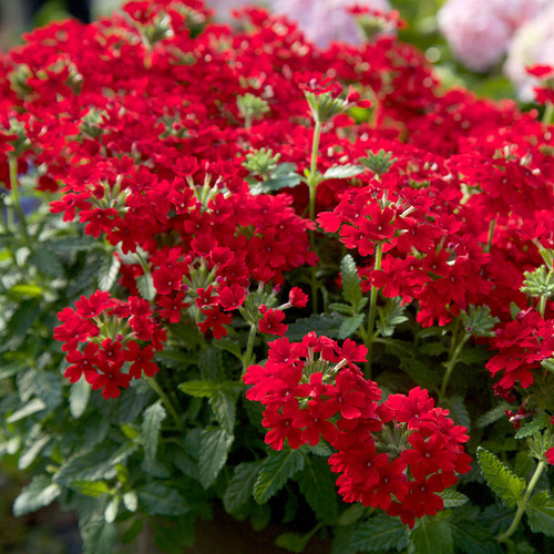 EnduraScape Red Verbena Flowering Main