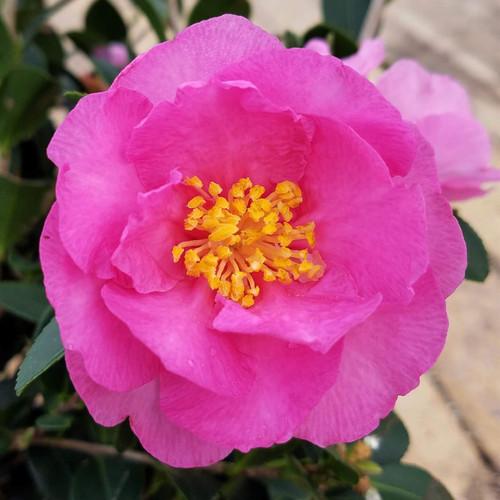 Stephanie Gold Camellia Flower