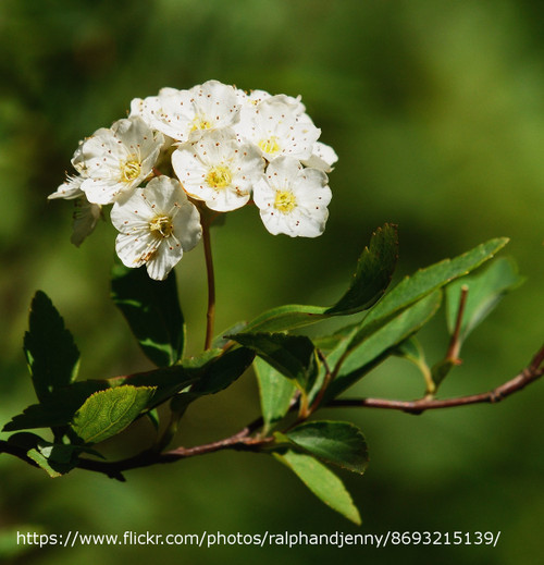 Reeves Spirea White Blooms