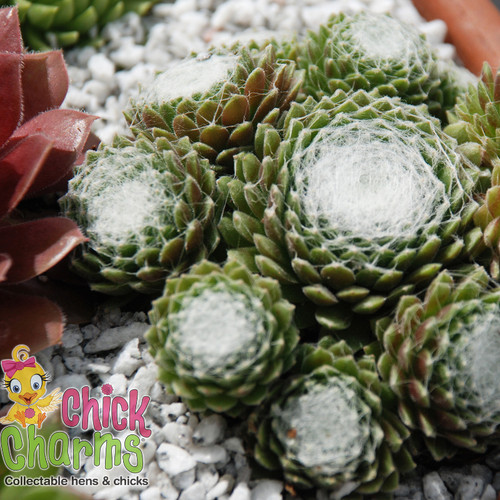 Chick Charms Cotton Candy Sempervivum in Planter