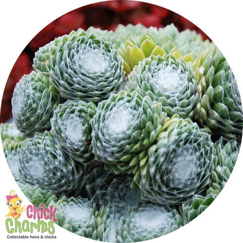 Chick Charms Fringed Frosting Sempervivum Main