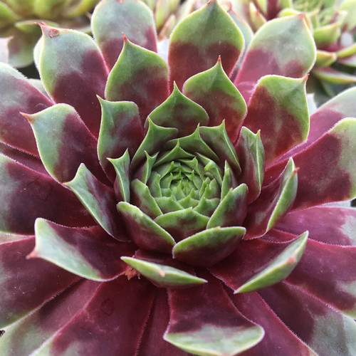 Chick Charms Watermelon Ripple Sempervivum Main