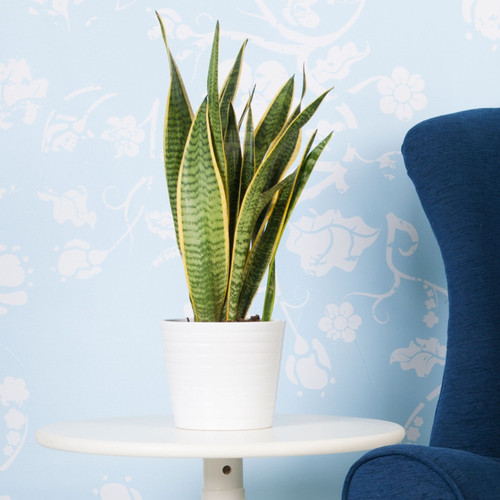 Snake Plant Growing in White Pot