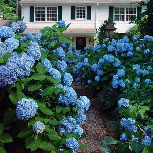 Penny Mac Hydrangeas With Garden Path in Front Yard