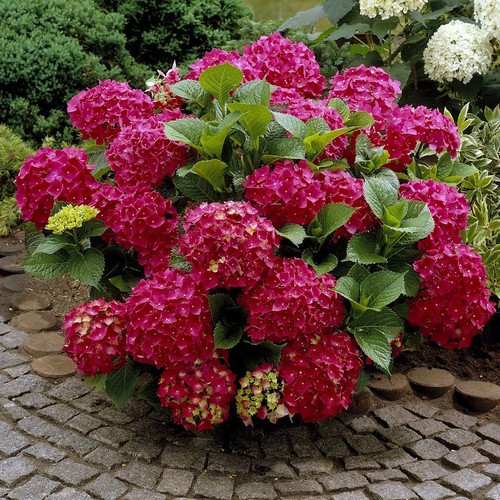 Red Beauty Hydrangea
