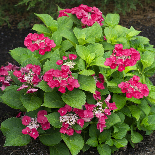 Cherry Explosion Hydrangea Shrub Flowering