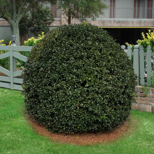 Pruned Round Nellie R. Stevens Holly Shrub