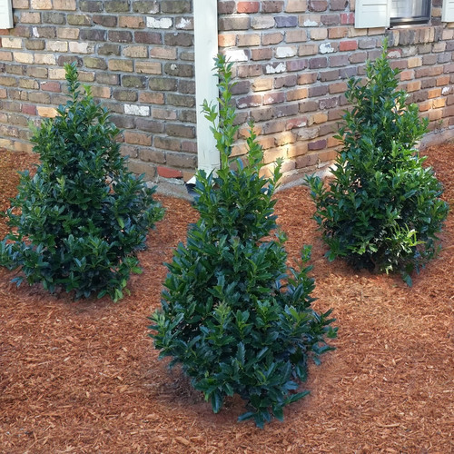 Oakland Holly Shrubs