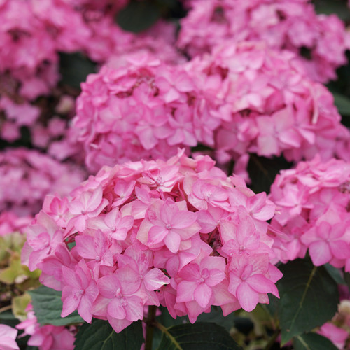 Pink Let's Dance Can Do Hydrangea Flowers