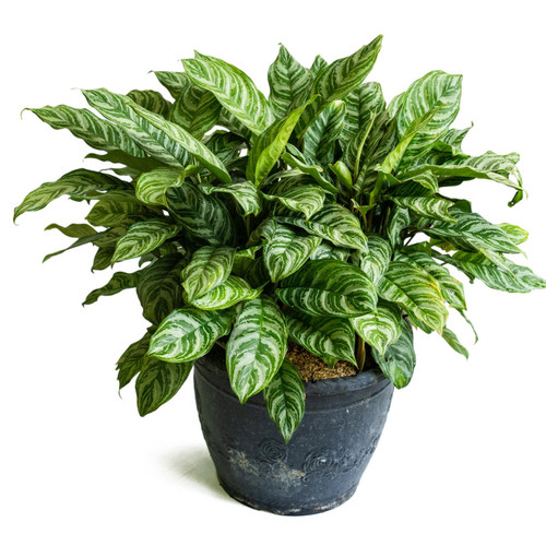 Maria Chinese Evergreen Plant