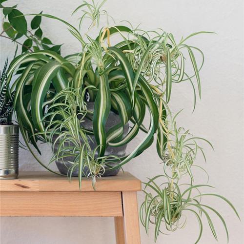 Spider Plant Houseplant