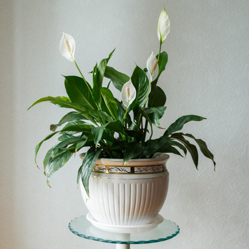Peace Lily Indoor Plant