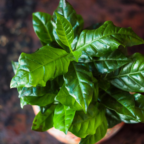 Arabica Coffee House Plant