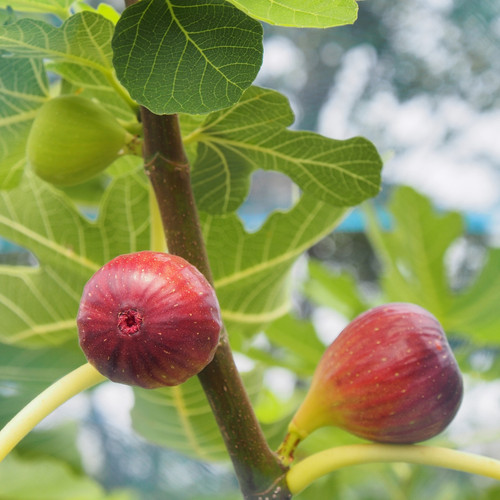 O'Rourke Fig Tree With Fruit