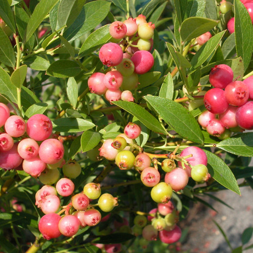 Pink Lemonade Blueberry Bush With Berries