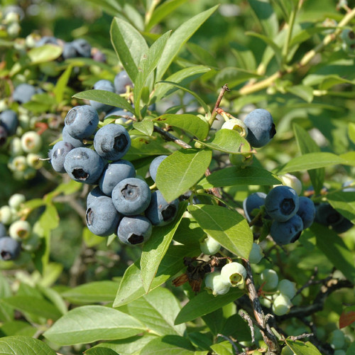 Tifblue Blueberry Bush With Berries Growing