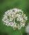 Garlic Chives Flower Head