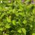 Italian Oregano Plants