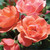 Coral Knock Out Rose Blooms and Petals