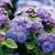 Artist Blue Floss Flower Close Up