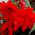 Funky® Orange Begonia Flower Petals
