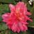 Funky® Pink Begonia Blooming