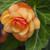 Illumination® Apricot Shades Begonia Flower Petals