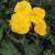 Nonstop® Yellow Begonia in Shade Garden