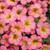 Superbells® Honeyberry™ Calibrachoa close up