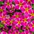 Superbells® Rising Star Calibrachoa Flowers and Foliage