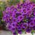 Superbells® TableTop Blue Calibrachoa in Garden Planter