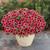 Superbells® Watermelon Punch™ Calibrachoa in the planter