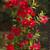 Sundenia® Red Dipladenia Flowers