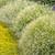 Large Diamond Mountain® Euphorbia Plants in the Garden