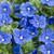 Blue My Mind® Dwarf Morning Glory Flowers and Foliage