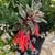 Fuchsia Firecracker Plant in urn Planter Blooming