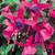 Shadow Dancers® Marcia Fuchsia Flowers and Foliage